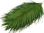 Лист Пальмы (Финик)