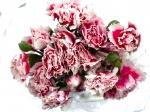 Гвоздика кустовая Розовая с белым кантом