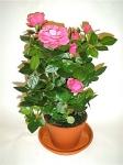 Роза Patio крупноголовая