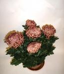 Хризантема 1-головая