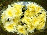 Хризантема кустовая Zembla Cream (Зембла Крем)