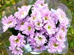 Хризантема кустовая MonaLisa Pink (Мона Лиза Пинк)