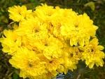 Хризантема кустовая Zembla sunny (Зембла санни)