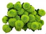 Хризантема кустовая Feeling Green (Филлинг Грин)