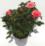 Роза крупноцветковая средняя