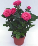 Роза крупноцветковая Экстра